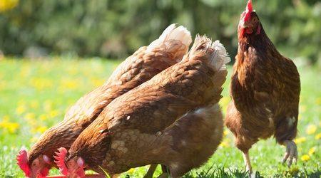 9307159 - the farm hen pecks food in meadow